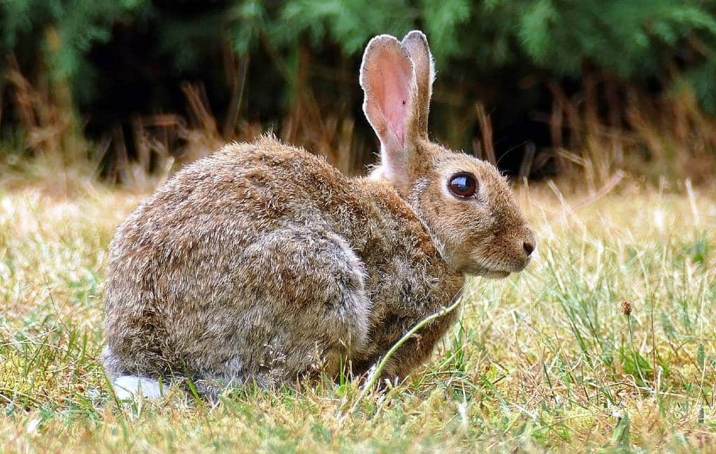 81 gemeenten in de provincie Alicante hebben een overbevolking van konijnen