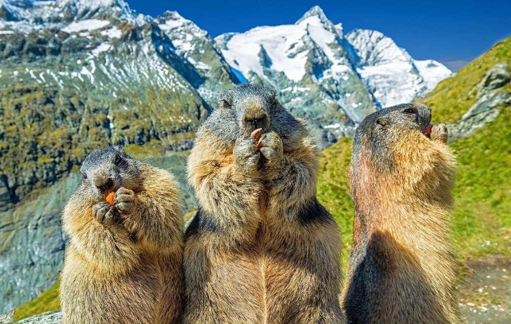 Het is 'Groundhog Day' in de VS en Canada maar heeft Spanje ook marmotten?