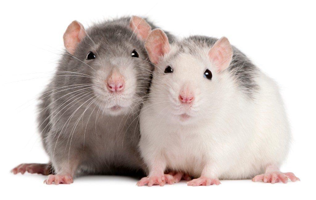 Vier ratten per tien inwoners in Spanje: op kakkerlakken na het grootste ongedierte probleem