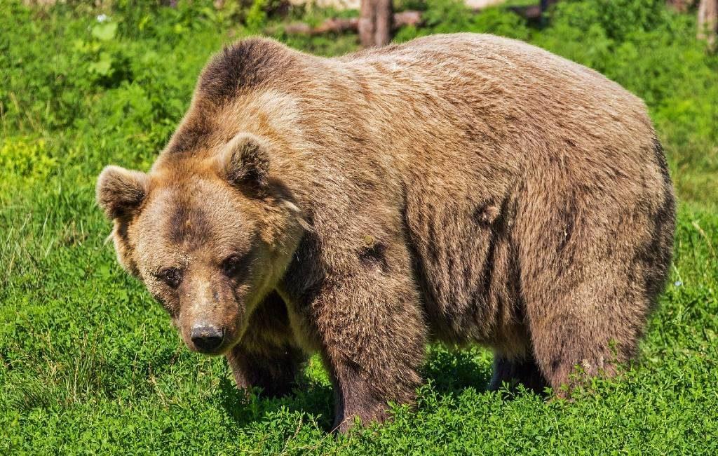 Twee beren 'per ongeluk' en 'uit zelfverdediging' door jagers gedood in Spanje