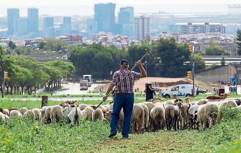 Barcelona wil schapen en geiten herintroduceren