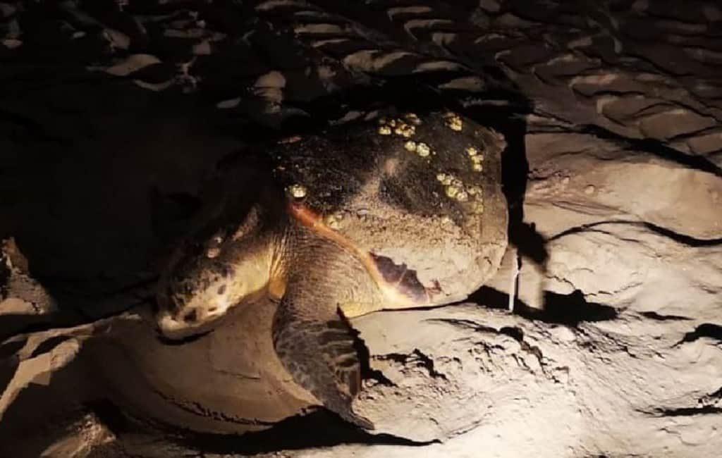 Zeeschildpad legt 141 eieren op strand La Pineda aan de Costa Dorada