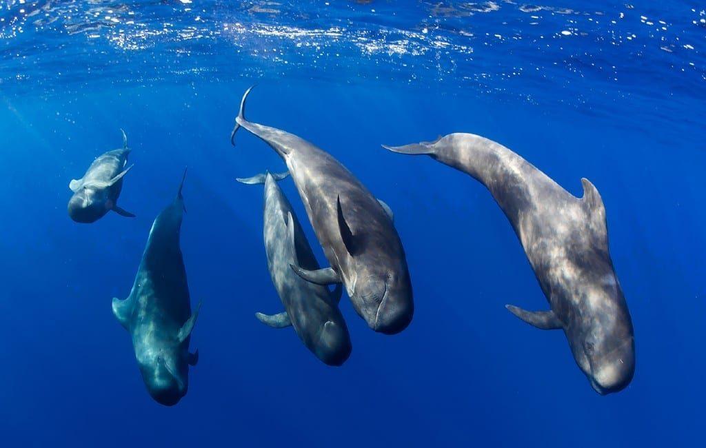 Zee bij Tenerife Europa's eerste Whale Heritage Site